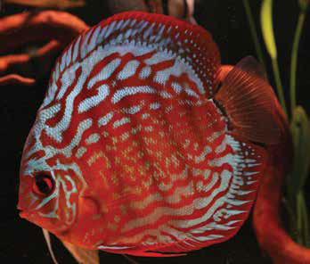 discus-red-turquise